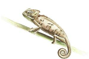 Chameleon in watercolor
