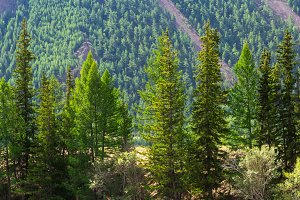Coniferous trees stand in a row alon
