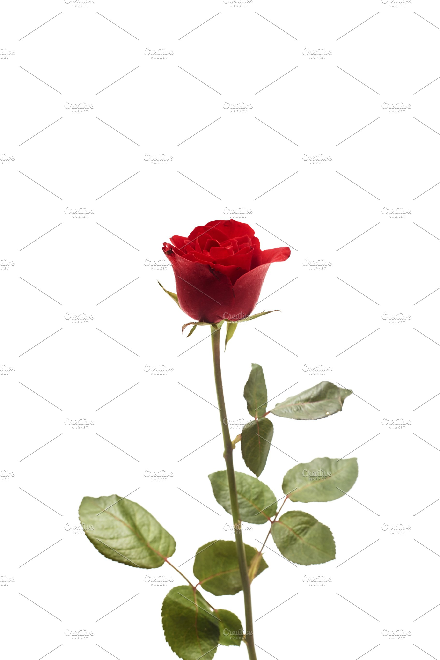 Beautiful Single Red Rose Flower Photos Creative Market
