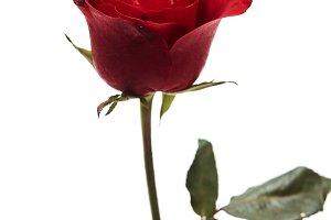 Beautiful single red rose flower