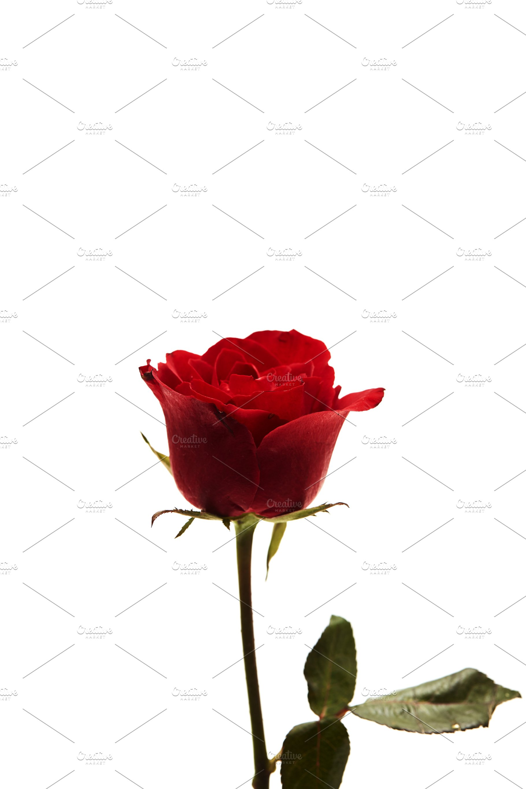 Beautiful Single Red Rose Flower