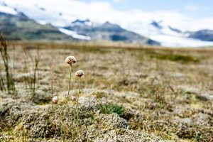 Wild flowers and glacier