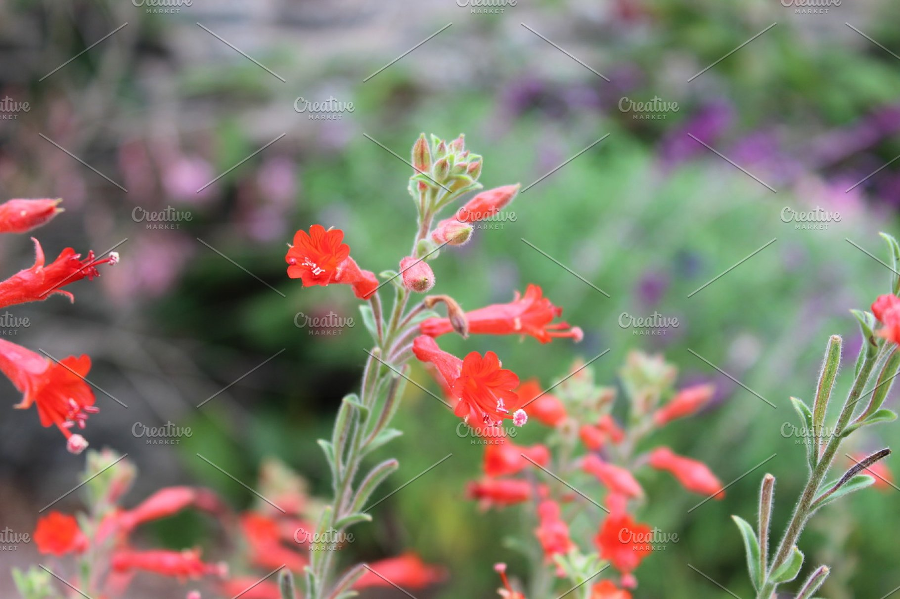 Red Flower Spikes Red Salvia High Quality Nature Stock Photos