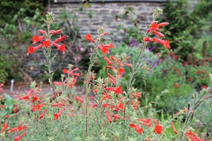 Red flower spikes red salvia