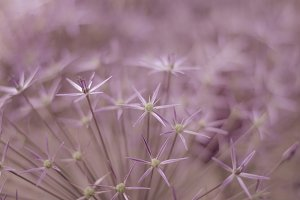 Purple Star Flower