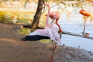 flamingos in water