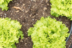 Natural lettuce in the orchard