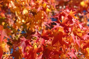 Maple leaves blue sky Autumn red