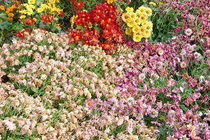 Field of different colors chrysanthe