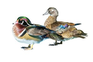 Male Wood Duck and female