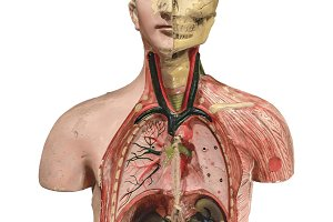 Anatomy Human Body Model Isolated