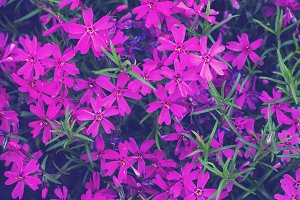 Pretty pink Purple  Flowers Blooming in a Garden