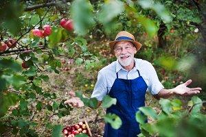 A senior man standing in apple
