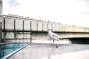 A seagull in a city of London.
