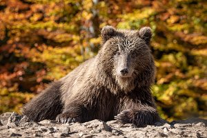 Bear (Ursus arctos) in autumn forest