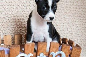 black Basenji dog puppy is sitting