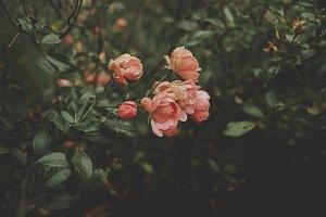 Low Key Roses