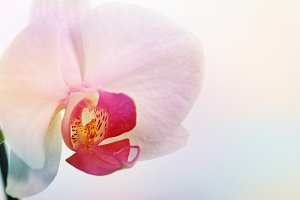 pink orchid in delicate tone