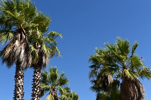 Palm trees and intense blue sky