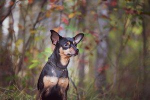 Smart dog  terrier