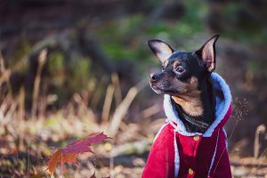 Dog, a toy terrier, a stylishly dres