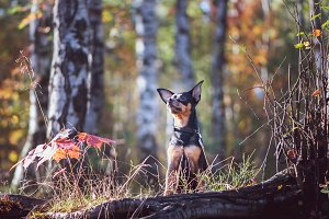Dog, a toy terrier