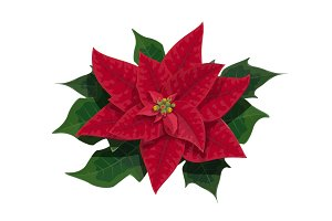 Poinsettia flower of Christmas