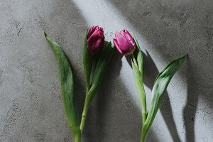 two purple spring tulips on grey sur
