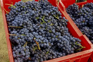 Blue grapes in red boxes