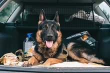 German Shepherd Dog is a true dog by  in Animals