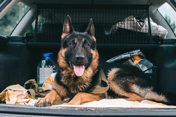 Animal Stock Photos - German Shepherd Dog is a true dog