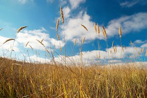 Yellow feather grass with blue sky
