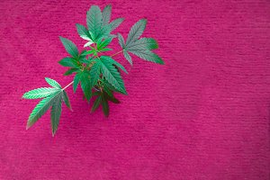 Cannabis baby plant on pink