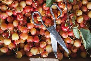 Cherry harvest