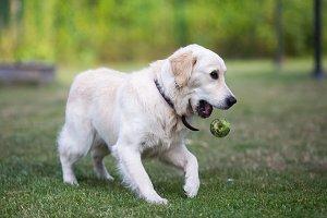 lovely cute golden retriever playing