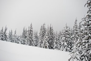 Pine trees covered by snow on mounta