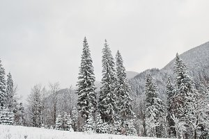 Pine trees covered by snow at Carpat