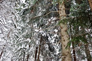 Pine trees covered by snow. Beautifu