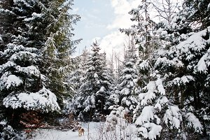 Pine trees covered by snow and lonel