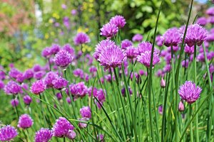 Purple Chive Flowers in the Garden