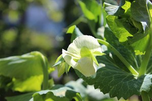 White Flower of Garden Pea