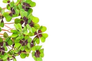 Fresh green four leaved clover