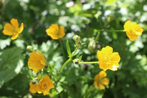 Yellow Buttercup flowers ranunculus
