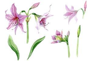 Purple amaryllis PNG watercolor