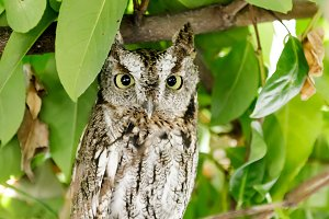 Coastal Great Horned Owl Juvenile