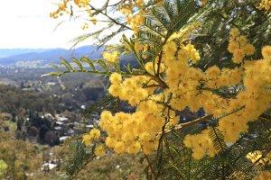 Acacia with mountain backdrop