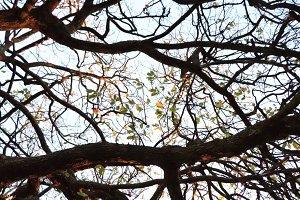 Sparse deciduous canopy