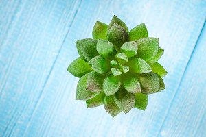 Succulent on a blue wooden table. To