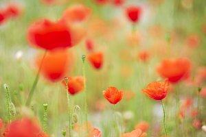 Love poppies!