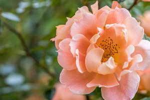 Orange rose blossom